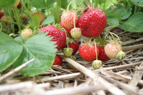 Indulgence, Locavore Style: Homemade Strawberry Jam