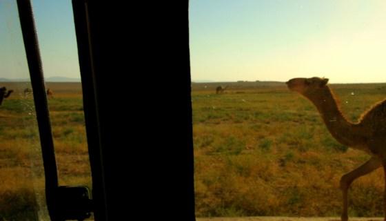 syria drought camel photo