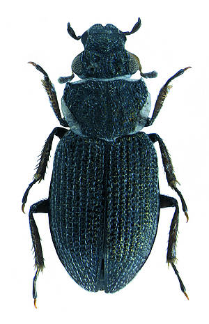 dubai-new-beetle