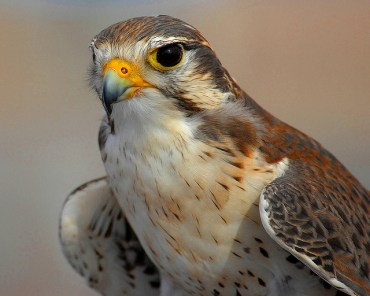 "Man Arrested Attempting To Smuggle ""Golden"" Falcon Eggs"