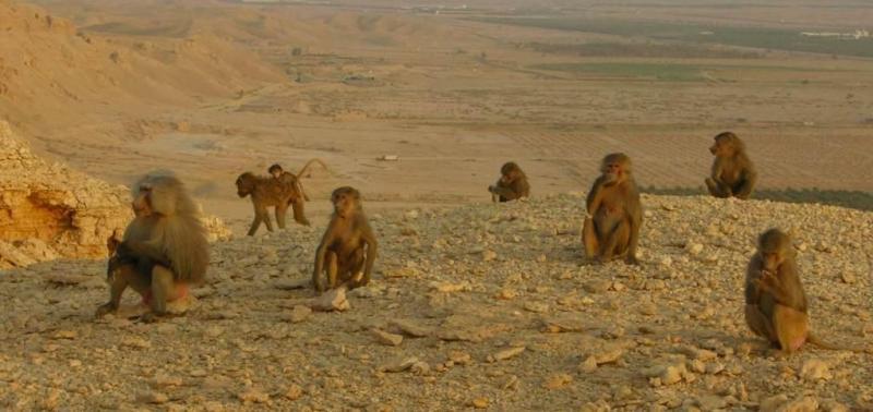 Killer Baboons Running Loose In Saudi Arabia?