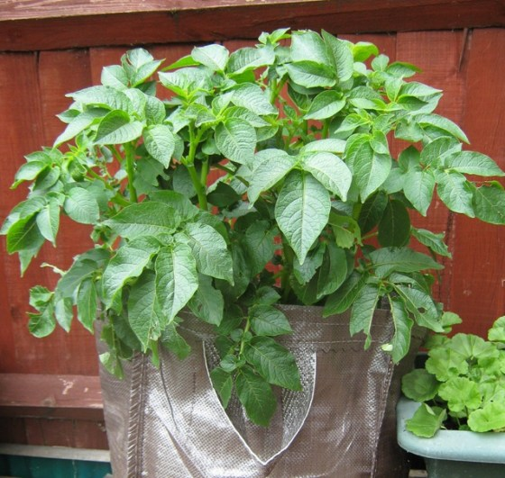 grow potatoes in bag