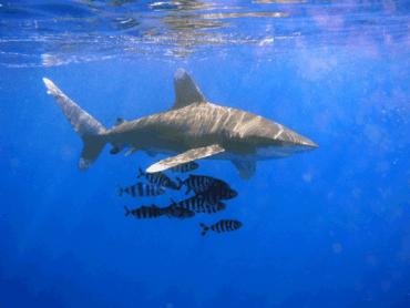 Oceanic White Tip Shark Kills Elderly Woman In Egypt