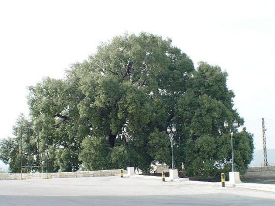 1500-year-old Lebanese oak tree