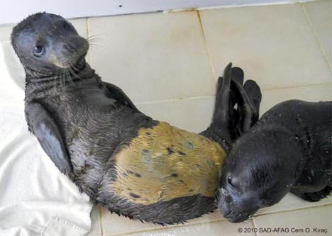 Turkish Monk Seal Pups Rescued From High Seas