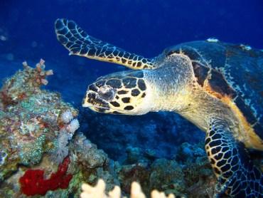 Hawksbill Turtles Travel 20km Per Day