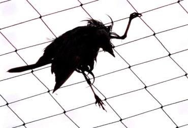 """Aflockalypse Now"" Bird Deaths and HAARP Death Rays"
