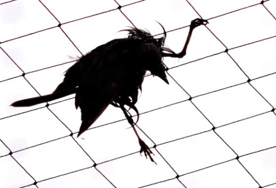 Haarp bird death