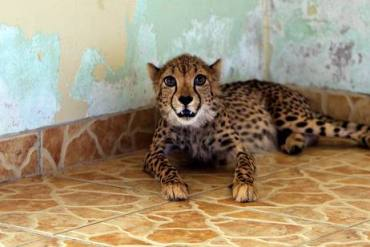 "Wild Animal ""Pets"" Still Commonplace in the Gulf"