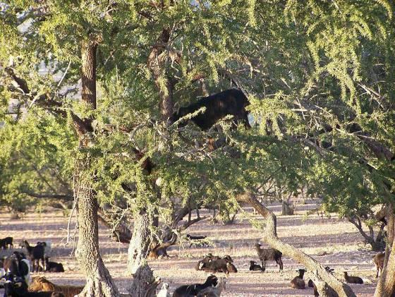 image-goat-argan-tree