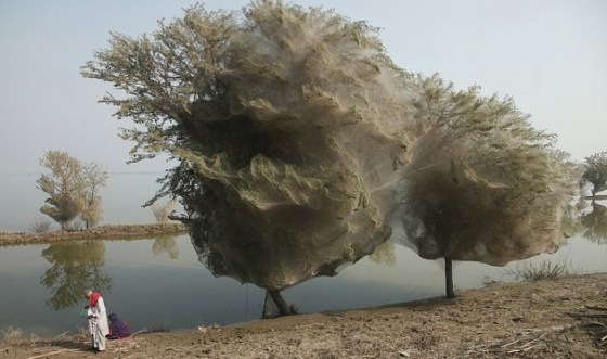 flooding pests pakistan