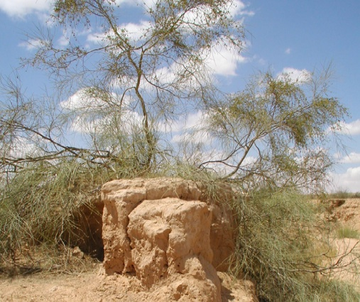 Salt Cedars are Carbon Sinks in the Desert