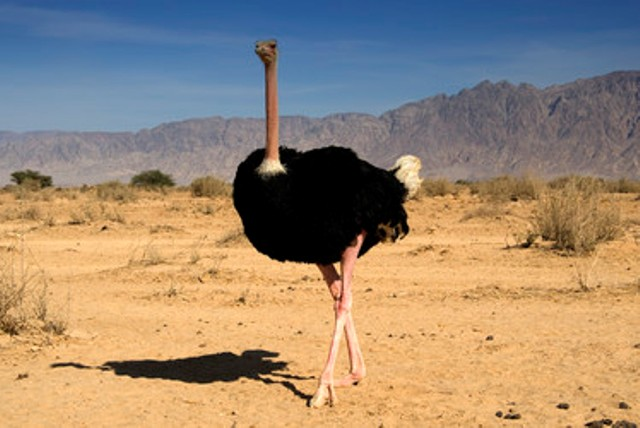 http://i2.wp.com/www.greenprophet.com/wp-content/uploads/2011/11/Common-ostrich-at-Hai-Bar.jpg