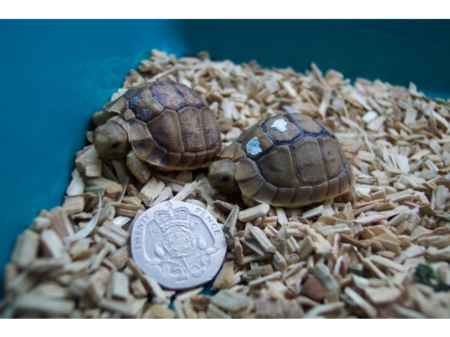 "Critically Endangered Egyptian Tortoise: ""Rarer Than Rockin Horse Poo…"""