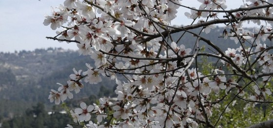 almond blossoms israel tu be shevat