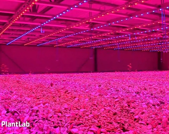 Pink LEDs Grow Future Food with 90% Less Water