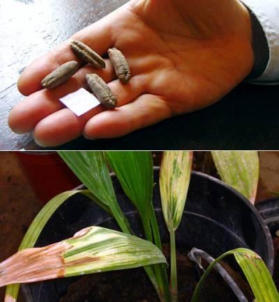 image-methuselah-date-palm