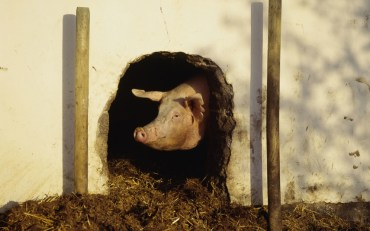 Pig Abuse Rampant in Kosher Israel