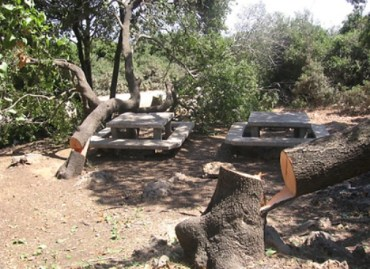 Vandals Target Ancient Oaks and Pines With Chainsaw in Israel