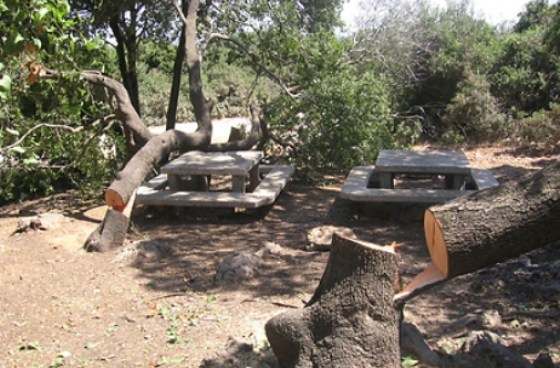 treehugger oak trees israel
