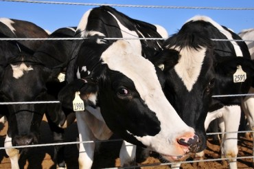 Israel's 4MW Biogas Plant to Clean up After 14,000 Cows