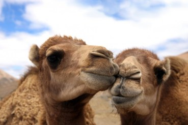 Camel Milk Chocolate and Mideast Dates Permeate Global Markets