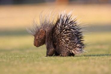 Serial Porcupine Hunter Gets Seven Months in Jail