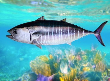 Fate of Bluefin Tuna Dangles in Morocco