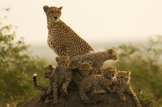 female cheetah and babies in iran