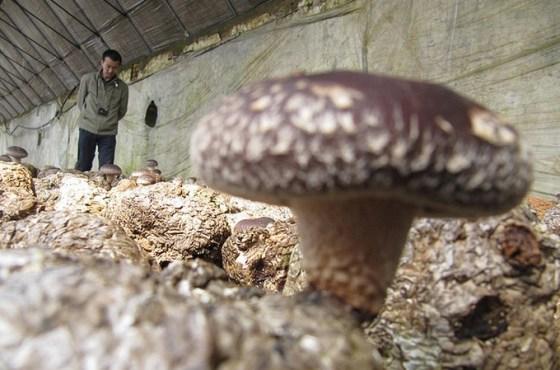 mushroom farm china