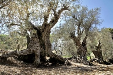 The World's Oldest Living Olive Trees Are Lebanese