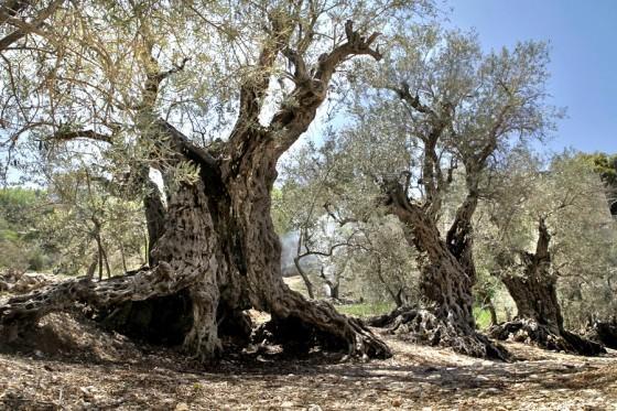 lebanon olive trees