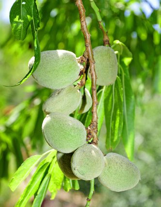image-green-almonds-tu-b'shvat