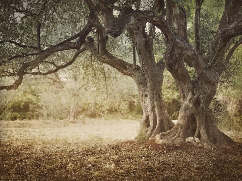 Olives Trees Have Kurdish Roots