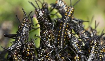 Locusts Threaten to Overtake Egypt