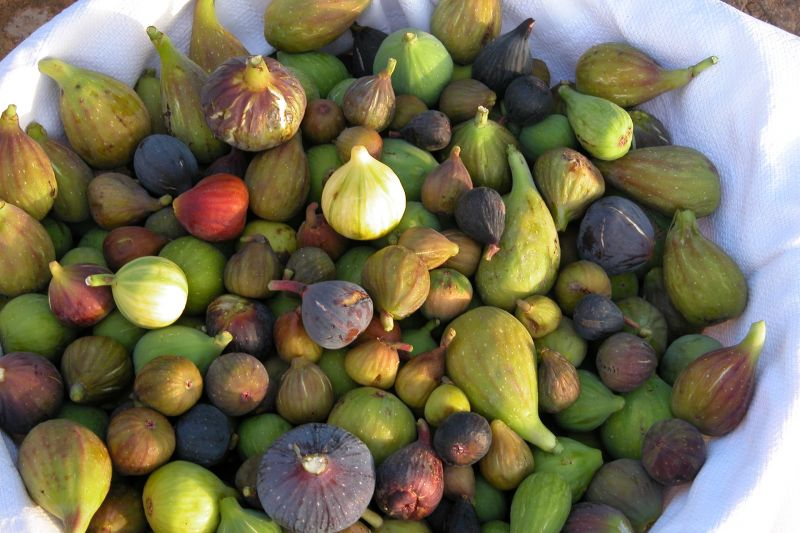 Native to the Middle East, The Fig Has Endless Varieties (PHOTOS)