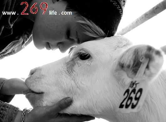 white calf, 269 life, animal rights, activism, israel, food industry, animal cruelty