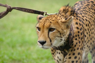 Dubai Cheetah Owners Can Save the Species, Says Expert
