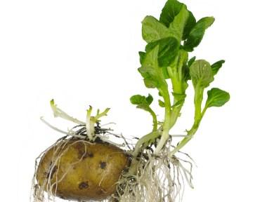 How Green Potatoes Turn Toxic