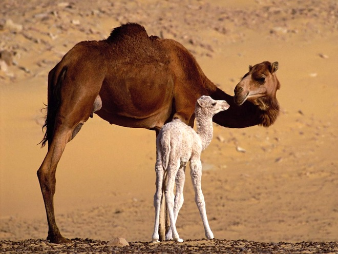 Deadly Middle East Coronavirus May Come from Camels
