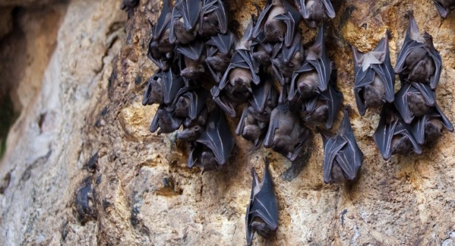 fruit bats hanging from a cave
