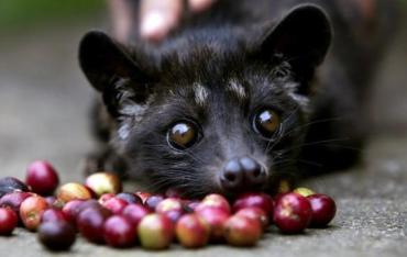 "Kopi Luwak ""Cat Poop"" Coffee is the World's Costliest, and Cruel (VIDEO)"