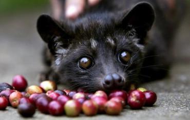 "Kopi Luwak ""Cat Poop"" Coffee is the World's Costliest, and Cruel (VIDEO)"