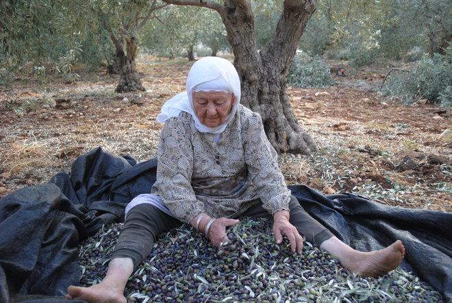 druze olive harvest