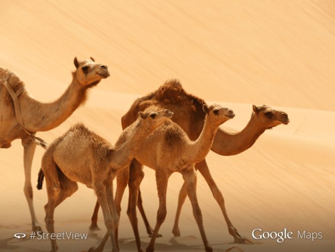 Google Street View uses camels to map UAE's Liwa Desert