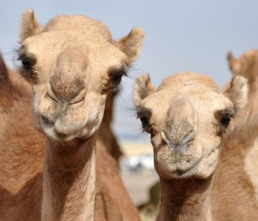 "Three Qatari ""Suspects"" Who are Spreading MERS Virus"