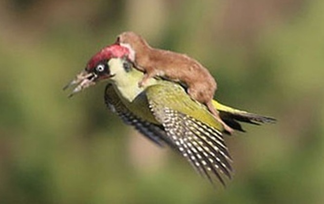 Weasel on a woodpecker? Discover Dubai through an eagle's eye instead!
