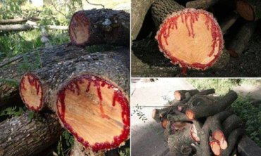 Haunting dragon trees from Yemen bleed when cut
