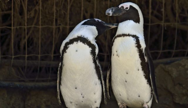 "Lesbian penguins ""out"" at the Israeli zoo"