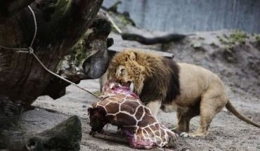 Danish zoo kills healthy giraffe to avoid inbreeding [video]